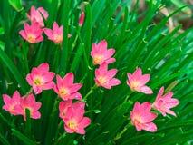 Fiore rosa della Tailandia Fotografia Stock Libera da Diritti