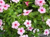 Fiore rosa della vinca Immagine Stock Libera da Diritti