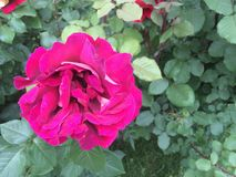 Fiore rosa della viola Fotografia Stock