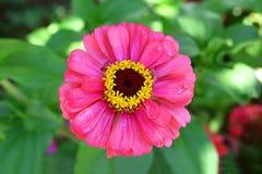 Fiore rosa della zinnia Immagine Stock
