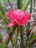 Fiore rosa dello zenzero con verde della natura fotografia stock libera da diritti