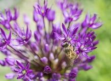 Fiore rosa di allium con l'ape in una ricerca di polline Fotografia Stock