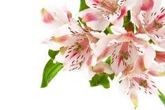 Fiore rosa di Alstroemeria Fotografie Stock