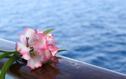 Fiore rosa di Alstroemeria - giglio peruviano o giglio delle inche Fotografia Stock Libera da Diritti