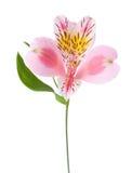 Fiore rosa di alstroemeria isolato su fondo bianco Fotografia Stock