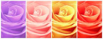 Fiore rosa di bellezza della raccolta Fotografie Stock