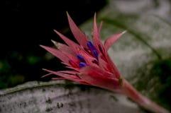 Fiore rosa di bromeliacea in giardino immagini stock