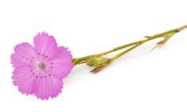 Fiore rosa di carthusianorum del Dianthus del garofano Immagini Stock Libere da Diritti