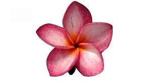 Fiore rosa di champa Immagini Stock