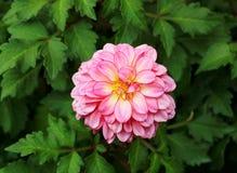 Fiore rosa di dahila Fotografie Stock Libere da Diritti