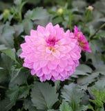 Fiore rosa di dahila Fotografia Stock