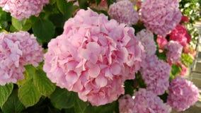 Fiore rosa di estate, primo piano Fotografia Stock Libera da Diritti