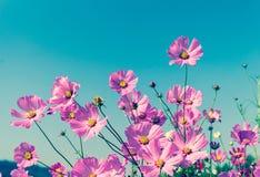 Fiore rosa di fioritura dell'universo fotografia stock libera da diritti