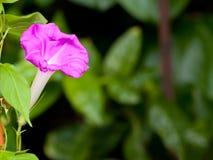 Fiore rosa di ipomea Immagini Stock Libere da Diritti