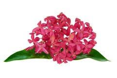 Fiore rosa di ixora Fotografia Stock