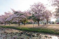Fiore rosa di rosea di Tabebuia dell'albero di tromba in Kamphangsean, Nakorn Immagini Stock Libere da Diritti