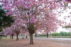 Fiore rosa di rosea di Tabebuia dell'albero di tromba in Kamphangsean, Nakorn Fotografia Stock Libera da Diritti