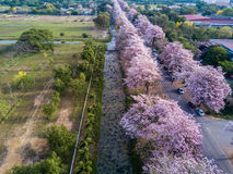 Fiore rosa di rosea di Tabebuia dell'albero di tromba in Kamphangsean, Nakorn Immagine Stock