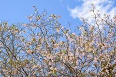 Fiore rosa di rosea di Tabebuia dell'albero di tromba in Kamphangsean, Nakorn Fotografia Stock