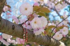 Fiore rosa di sakura con il braccialetto tradizionale della molla del Balcani Fotografia Stock Libera da Diritti