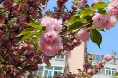 Fiore rosa di sakura su un piccolo ramo Fotografie Stock Libere da Diritti