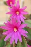 Fiore rosa di Schlumberger Fotografia Stock Libera da Diritti