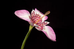 Fiore rosa di tigridia Fotografia Stock Libera da Diritti