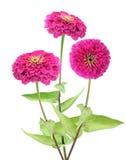 Fiore rosa di zinnia Fotografia Stock
