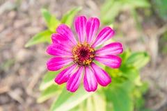 Fiore rosa di zinnia al centro sulla vista superiore Fotografie Stock
