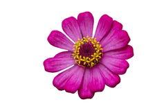 Fiore rosa di zinnia isolato su bianco fotografie stock libere da diritti