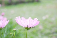 Fiore rosa dolce dell'universo Fotografia Stock Libera da Diritti