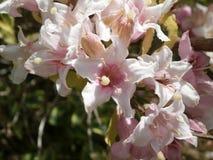 Fiore rosa e bianco fotografie stock