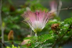 Fiore rosa e bianco immagine stock