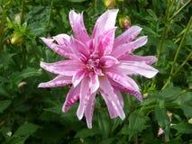 Fiore rosa e bianco Fotografia Stock