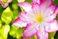 Fiore rosa e bianco del primo piano della clematide Fotografie Stock Libere da Diritti