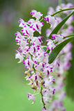 Fiore rosa e bianco dell'orchidea Fotografie Stock