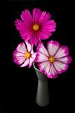 Fiore rosa e bianco dell'universo immagini stock libere da diritti