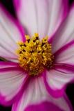 Fiore rosa e bianco dell'universo immagine stock