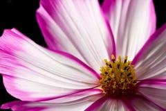 Fiore rosa e bianco dell'universo immagine stock libera da diritti