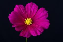 Fiore rosa e bianco dell'universo immagini stock