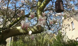 Fiore rosa e bianco della magnolia Immagini Stock Libere da Diritti