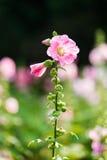 Fiore rosa e bianco della malvarosa Fotografie Stock Libere da Diritti