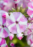 Fiore rosa e bianco di petunaia Immagine Stock Libera da Diritti