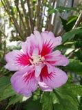 Fiore rosa e fucsia immagine stock libera da diritti