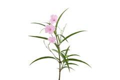 Fiore rosa e piccolo albero su fondo bianco, con il picchiettio del ritaglio fotografia stock libera da diritti
