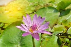 Fiore rosa e porpora della ninfea con le api in sole Fotografia Stock