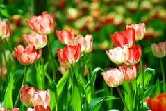 Fiore rosa e rosso del tulipano Fotografia Stock Libera da Diritti