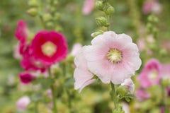 Fiore rosa e rosso della malvarosa Fotografia Stock