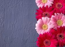 Fiore rosa e rosso della margherita della gerbera sugli ambiti di provenienza concreti Sorgente Immagine Stock Libera da Diritti