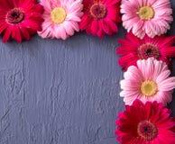 Fiore rosa e rosso della margherita della gerbera sugli ambiti di provenienza concreti Sorgente Immagini Stock Libere da Diritti